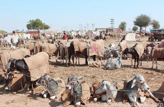 lnagaur_cattle_fair_rajasthan